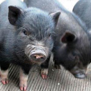 Корейские свинки - svini