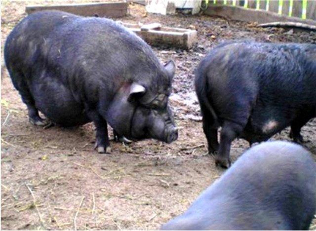 Выращивание вьетнамской вислобрюхой свиньи - svinya