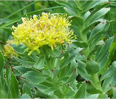 Выращивание золотого корня дома - zolotoi koren