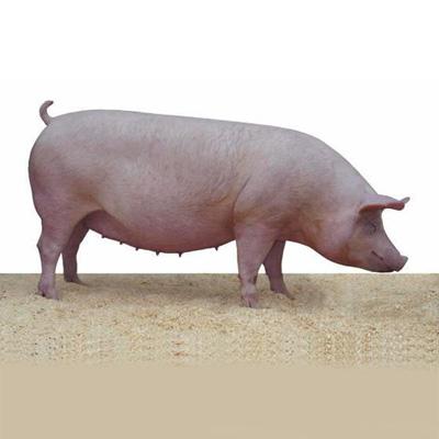 Свиноферма на селе - svinovodstvo