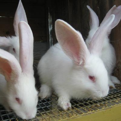 Разведение кроликов - kroloki