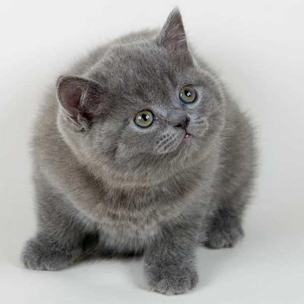 Выращивание котят элитных пород - kotyata