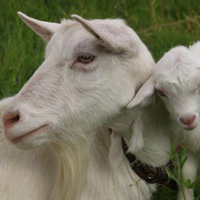 Разведение коз. Продажа козьего молока. - kosa
