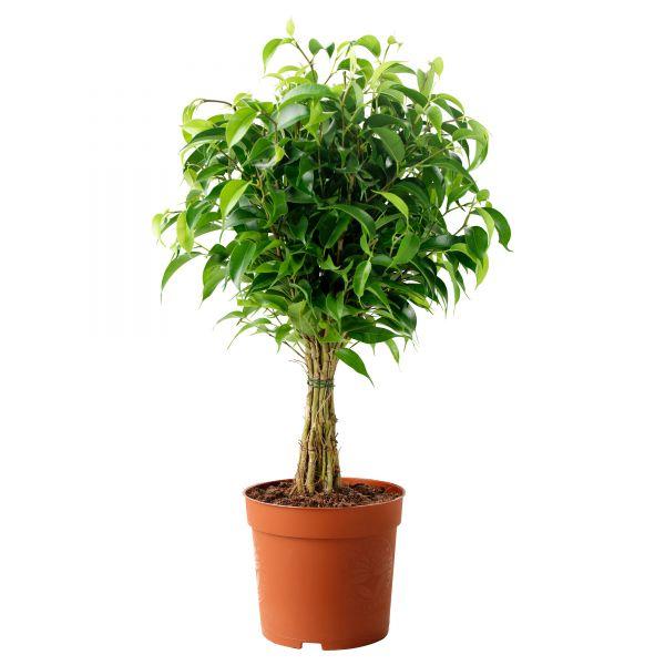 Выращивание комнатных растений - v_gorschke2