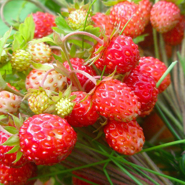 Лесные, луговые ягоды - lugovye_yagody