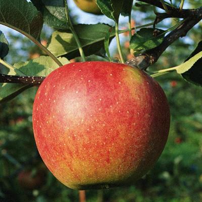 Поставка яблок на консервные заводы. - yabloki