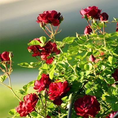 Выращивание роз и других цветов - vyraschivanie_cvetov