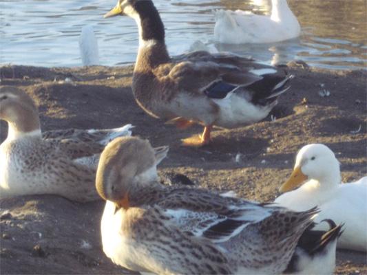 Разведение гусей - бизнес в сельском хозяйстве - utki