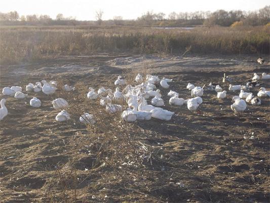 Разведение гусей - бизнес в сельском хозяйстве - rasvedenie_utok