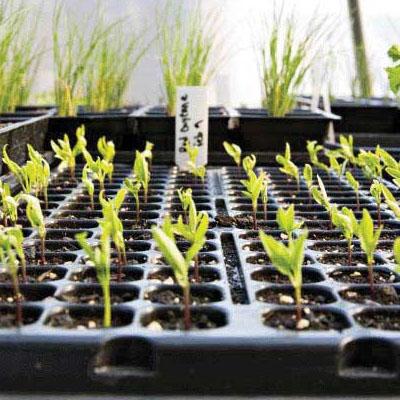 Выращивание рассады для продажи с минимальным вложением. - rassada