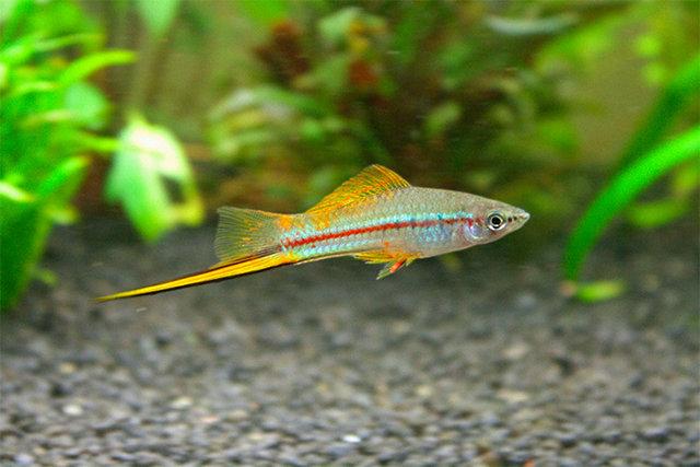 Разведение аквариумных рыбок - ryba2