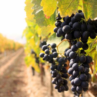 Бизнес на винограде с нуля - vinograd