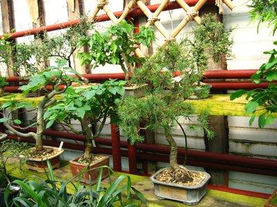 Выращивание комнатных растений - bonsai1.JPG