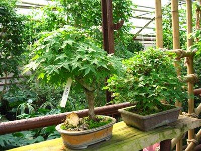 Выращивание комнатных растений - bonsai2.JPG