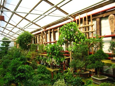 Выращивание комнатных растений - bonsai3.JPG