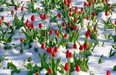 Выгонка тюльпанов к 8 марта - foto-tyulpani-29-e1416921315988
